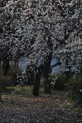 Japanese apricot (hiace555) Tags:  japaneseapricot flickrandroidapp:filter=none