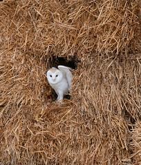Barn Owl (Col-Page) Tags: barn owl nikon 300mm hay farm