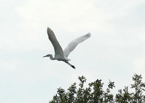Great White Egret / Grande Aigrette
