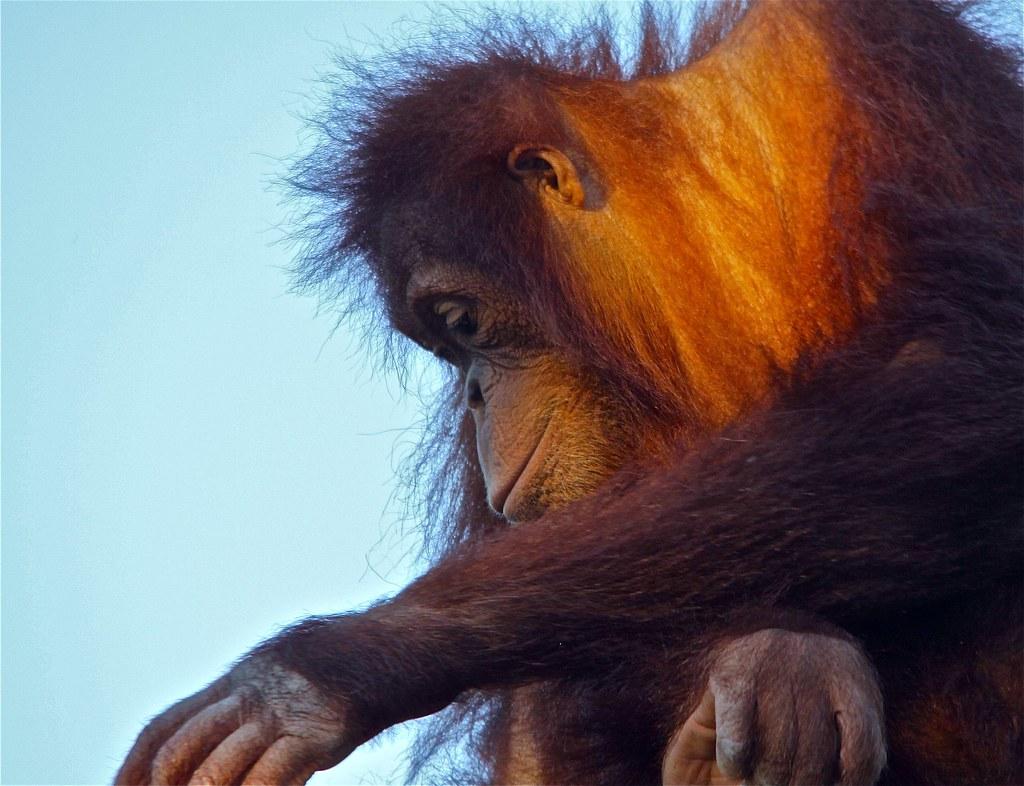 Orangutan {Pongo pygmaeus}