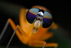 The eyes of a fly (Rundstedt B. Rovillos) Tags: macro nature animal insect eyes head yeux insecte tte reverselens macrophotography nikond200 nikkor1855mm reverselensadapter nikonsb400 diyflashdiffuser macrolife vosplusbellesphotos beautifulmonsters notyournormalbug sanjosebatangas rundstedtbrovillos ranchobanaag kentuckyfriedchickenplasticbucketlid diykfcflashdiffuser onehandmacroshootmethod kfcdiffuser