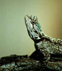Gecko / Lizard / Agama (Colognid) Tags: africa film analog reptile 28mm slide afrika gecko baum tier echse nikonf80 realphotograph kodakelitechromeextracolour100 sigma2870mmf2840