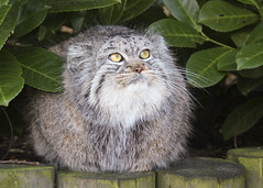 Fluffball! (Julia-D) Tags: cat kent pallas pallascat wildlifeheritagefoundation whf