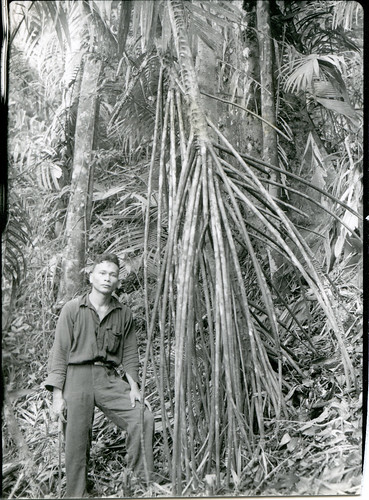 Stilt-rooted Areca palm, Mt. Sapoetan
