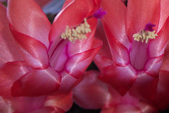 Christmas cactus (malinybi) Tags: christmas pink cactus flower yellow petals purple rosa christmascactus pollen jul shimmering shimmer christmasflower kronblad julekaktus maylisbirchall maylisnyhuusnyhus