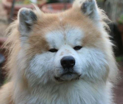 ムクムク秋田犬のブログ