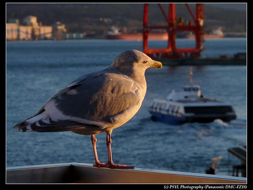 Gull watching seabus