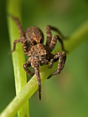Little brown wolf (macropoulos) Tags: spider wolf animalia arthropoda gettyimages arachnida araneae lycosidae canoneos5d chelicerata canonspeedlite430ex canonef100mmf28macrousm specanimal 250v10f specinsect canon250dcloseup gettyimages:date_added=pre20110607