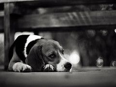 .we're all in this alonE (27147) Tags: dog beagle pen garden thailand 50mm village voigtlander olympus f11 nokton ep1 chonburi casalunar