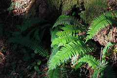 The greenest green (dave&jess) Tags: green oregon forest pacificocean ferns oswaldweststatepark smugglerscove