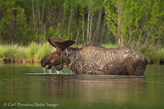 Bull moose (Alces alces)  browsing aquatic plants in Long Lake, Wrangell - St. Elias National Park and Preserve, Alaska. (Skolai-Images) Tags: wildlife moose bullmoose alcesalces wrangellsteliasnationalparkandpreserve animalsalaskacarldonohue2009