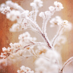 a cold warmer (gregor H) Tags: winter stilllife cold texture nature frost hoarfrost explore frontpage hoar frostpattern iceflower frostwork coveredwithfrost