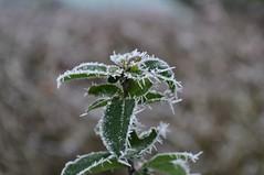 DSC_0039 (win666ter2001) Tags: winter snow plant ice nikon d5000 nikond5000