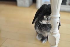 DSC_0014 (rabbitier) Tags: rabbit bunny nikon lapin usagi hollandlop うさぎ d90 blackotter
