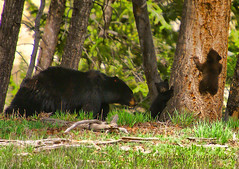 LISTEN TO YOUR MOM (Aspenbreeze) Tags: bear nature animals outdoors babies wildlife yellowstonenationalpark yellowstone cubs wyoming blackbear wildanimals babyanimal bearcubs specanimal abigfave saariysqualitypictures aspenbreeze