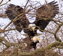Spat (Catsbow) Tags: county eagle baldeagle explore bow skagit padillabay 3tree skagitcoutny lifetnc10
