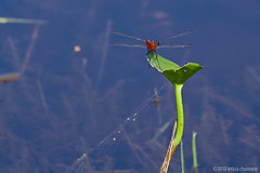 red dragonfly (Leticia Chamorro) Tags: park blue red lake green nature water insect fly bright dragonfly sheet paraguay u guasu