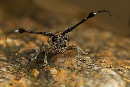 a cute Long-horned Beetle