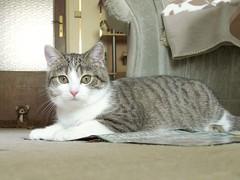 Mausi (blumenbiene) Tags: cat katze katzen miez stubentiger wohnungskatze