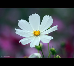 Cosmos (Dalang55555) Tags: white flower cosmos