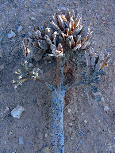 Fallen agave, West Odessa, Texas