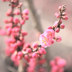 Spring Is Waking Up (bananagranola (busy)) Tags: pink japan japanese dof bokeh plum earlyspring umeblossoms