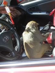 獼猴自動跳上車索取食物已是常出現景象