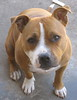 My baby (Sonic Death Monkey 79) Tags: dog baby puppy indi staffy