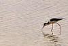 Hunting (SarahInArizona) Tags: arizona lake fish bird nature water wildlife hunting gilbert