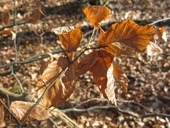 brown leaf (Jamie Arnold) Tags: leaf tring tringpark