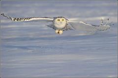 Owl (Snowy) - 1856 (Earl Reinink) Tags: flight raptor snowyowl snowyowlinflight earlreinink wwwearlreininkcom wwwipaintca
