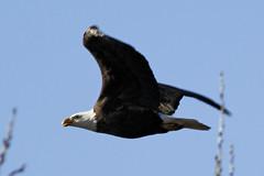 Adult bald eagle (dcstep) Tags: urban usa colorado adult baldeagle urbannature cherrycreekstatepark ef400mmf56l pixelpeeper canon7d manfrottogimbalhead induroc414tripod