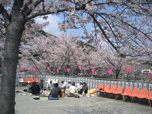 広島 桜 名所 7