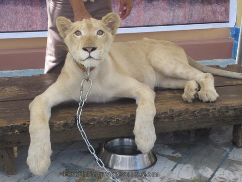Zoori the White Lion at Enchanted Kingdom