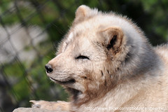 Blijdorp (Eisbeertje) Tags: animal animals zoo blijdorp nikon nederland fox april 70300mm tierpark dieren dier tiergarten 2010 vos dierentuin vossen diergaarde poolvos 20100409