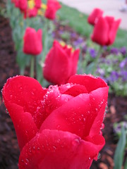Tulips (Fancy--Nancy) Tags: excellentsflowers natureselegantshots mimamorflowers waterdropsmacros flickrflorescloseupmacros greatshotss exquisiteflowersflowersarrebaeutifulmacroselsalvadormixedflowersfaunaandfloraoftheworld