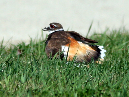 Killdeer distraction display 2-20100409