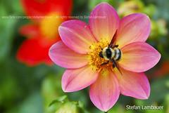 "Fat bee (Stefan Lambauer) Tags: flower macro brasil sãopaulo flor bee abelha 2010 camposdojordão santoantôniodopinhal mywinners stefanlambauer fatbee platinumheartaward 100commentgroup universalelite ""flickraward"""