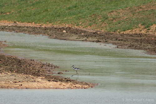 Black-Necked Stilt #4