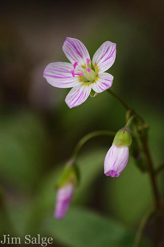 Spring Beauty I