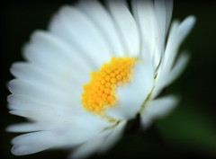 Daisies are like sunshine to the ground :) (Joey Dunne) Tags: soft pretty yella daisesarelikesunshinetotheground daisesunite