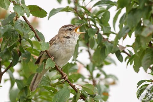 Schilfrohrsänger - Sedge warbler - Acrocephalus schoenobaenus