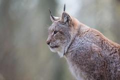Vigilant (The Wasp Factory) Tags: eurasianlynx lynx eurasischerluchs nordluchs luchs lynxlynx wisentgehegespringe wisentgehege springe wildpark wildlifepark