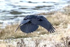 Flight Dynamics (David Badke) Tags: colwood bc bird