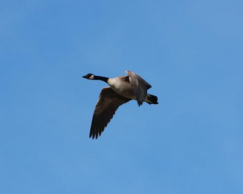 Canada Goose - #1