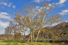Sycamore On the New River