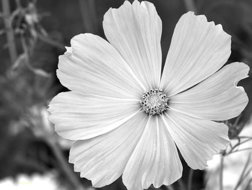 Flor En Blanco Y Negro