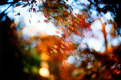 murmur (moaan) Tags: life leica blue autumn red orange color green leaves 50mm maple dof bokeh f10 momiji japanesemaple kobe sound utata rokko noctilux hue 2009 tinted mapleleaves leicam7 autumnalleaves m7 rvp fujivelvia tinged explored rustling inlife rustlingofleaves leicanoctilux50mmf10 gettyimagesjapanq1 gettyimagesjapanq2
