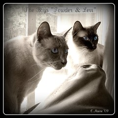 Powder n Levi .... (FurBabyLuv *Finally back Online) Tags: cats animal cat shelter siamesemixed powderbluepoint snowshoelevisealpoint snowshoerescuedfosteredabandonedadoptedtacoma