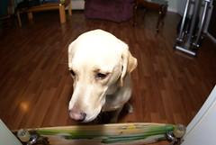 Sad Dog (FlyFishingFanatic) Tags: yellowlab sigma15mmf28exdgdiagonalfisheye sonyalpha